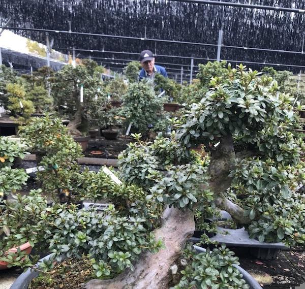 Đất nung Akadama - Ryusen Akadama được ứng dụng để trồng Bonsai