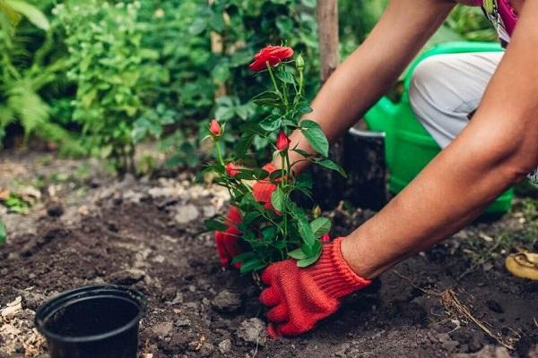 Cách trộn giá thể trồng hoa hồng theo quy trình chuẩn