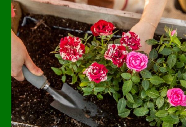 Hướng dẫn cách trộn giá thể trồng hoa hồng đúng chuẩn