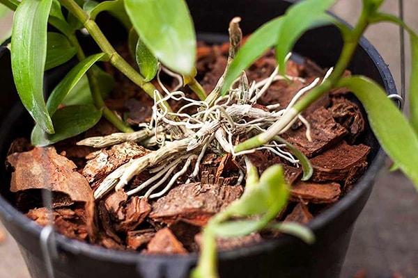 Cần rửa muối ngậm trong vỏ thông thường xuyên để không gây hại cho cây