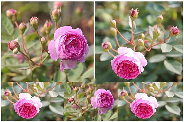 Cách trồng và chăm sóc hoa hồng ngoại