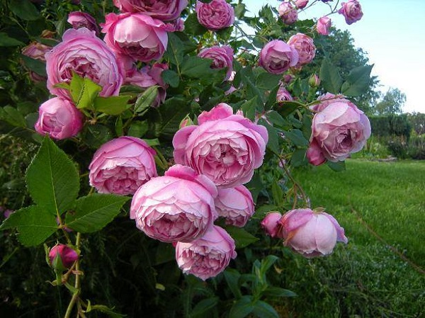 Hướng dẫn cách trồng và chăm sóc hoa hồng ngoại khi mới mua về
