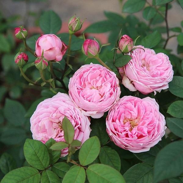Cách chăm sóc và trồng hoa hồng ngoại