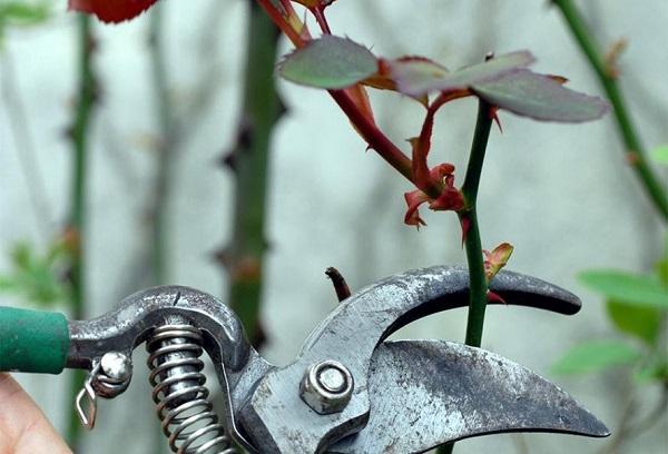 Cắt tỉa lá già, cành cây yếu