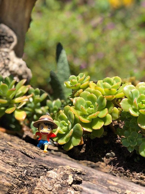 Hướng dẫn cách trồng sen đá