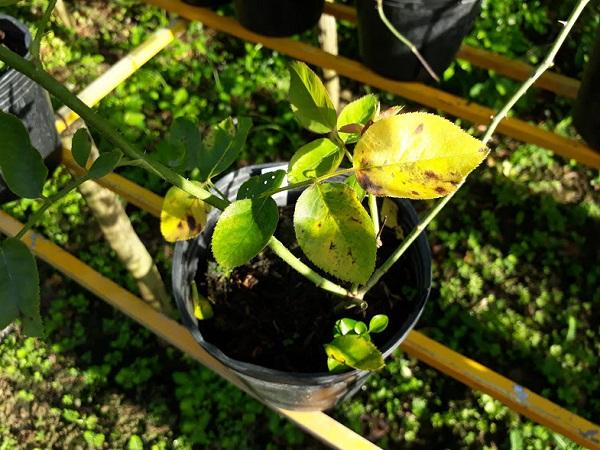 Chậu hoa hồng chứa nhiều nước nên bị vàng lá
