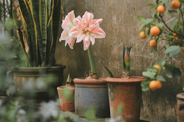 Cây lan huệ góp phần tô điểm cho không gian sân vườn thêm sinh động