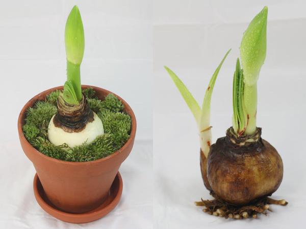 Cách trồng lan huệ ra hoa đúng Tết từ củ