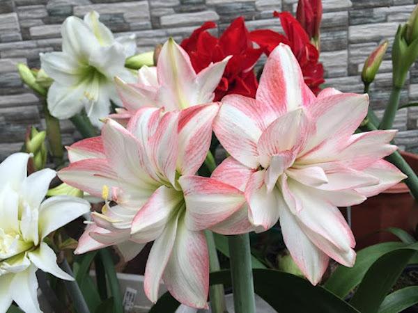 Hướng dẫn cách chăm sóc lan huệ ra hoa to, đẹp